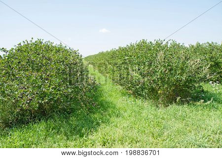 An Aronia (chokeberries) growing in a field