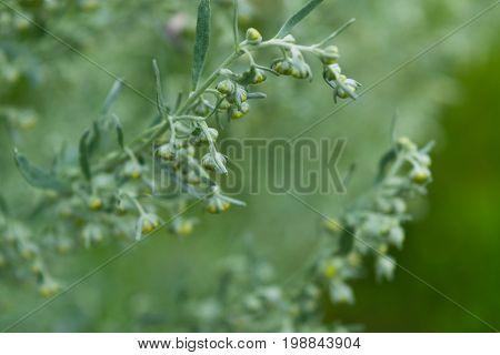 Wild Sagebrush Macro Photo.
