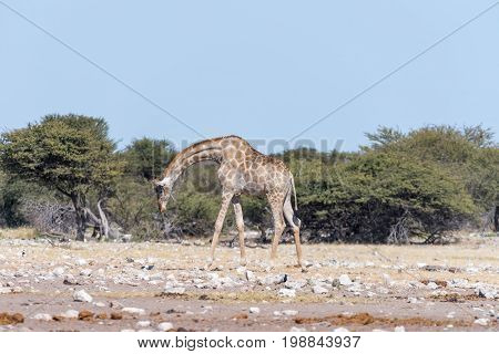 A Namibian giraffe Giraffa camelopardalis angolensis walking with bowed head through a field covered in white calcrete rocks in Northern Namibia