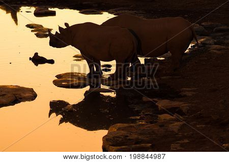 The silhouette and reflection of a black rhinoceros Diceros bicornis at a waterhole in Northern Namibia after sunset.