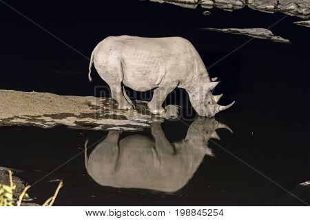 A black rhinoceros Diceros bicornis drinking water at an artificially lit waterhole in Northern Namibia after sunset. Its reflection is visible on the water