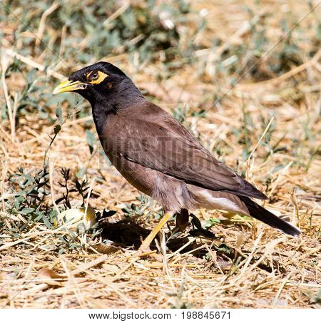 Indian starling on the ground in nature