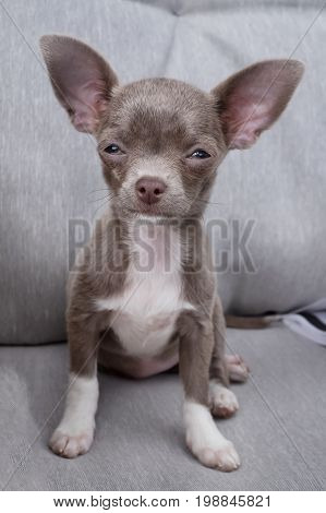 Chihuahua puppy wants to sleep.Puppy chocolate color sits on the couch.