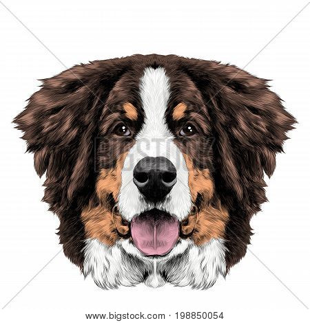 the dog head is symmetrical front the Bernese mountain dog sketch vector color drawing