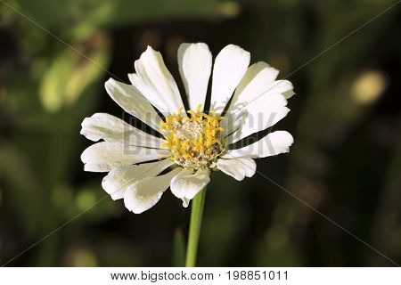 Summer flower with yellow stamen and white petals. Gerbera macro photo. Simple blooming daisy macro photo. Summer blossom in garden meadow. Floral image for wedding background or banner template