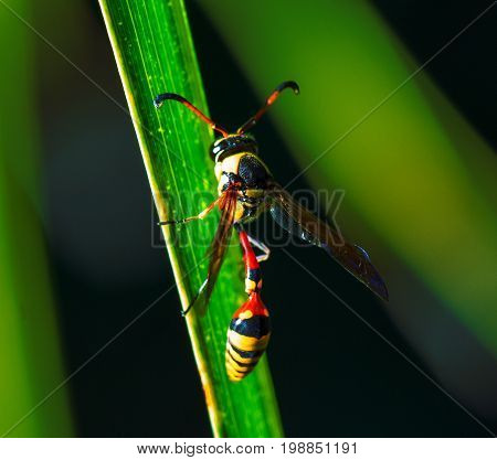 Tropical wasp in nature. Thread-waisted wasp on palm leaf. Unusual exotic tropical insect. Natural pollinator on tropical leaf. Yellow red wasp in sunlight. Exotic insect in nature. Tropical threat