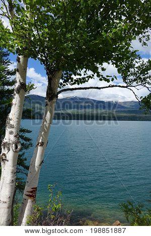 Aspen Trees along shore of Montana's Lake McDonald in Glacier National Park.