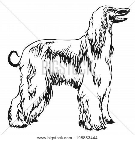 Decorative portrait of standing in profile Afghan greyhound vector isolated illustration in black color on white background