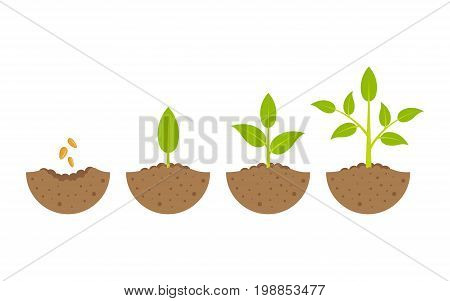 growing plant in process concept of planting process in flat design how to grow tree from the seed in the garden easy step by step. Vector illustration