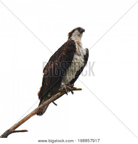 Closeup of an Osprey on a branch isolated on white.