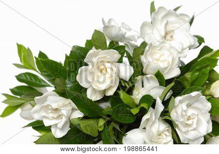 white gardenia blooming-white background
