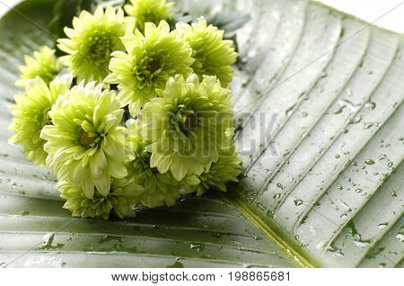spa background with green gerbera on wet banana leaf