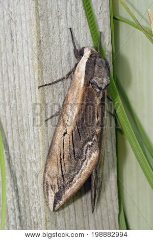 Privet Hawkmoth - Sphinx ligustri One of Britains Largest Moths