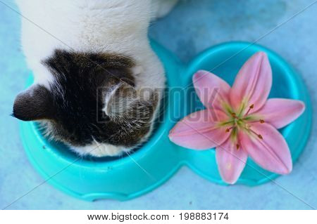 white cat eating food from pet bowl with lily lick his lips after dinner