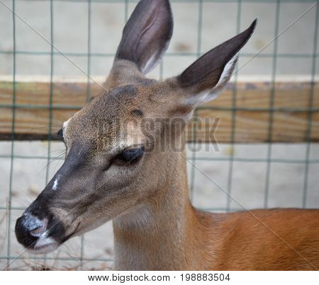 angled face of young deer with no antlers