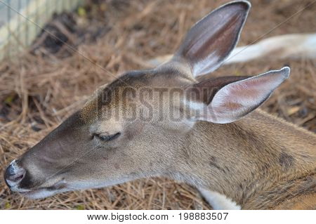 young deer with no antlers with eyes closed