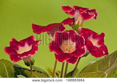 Flowering Red gloxinia on green background macro