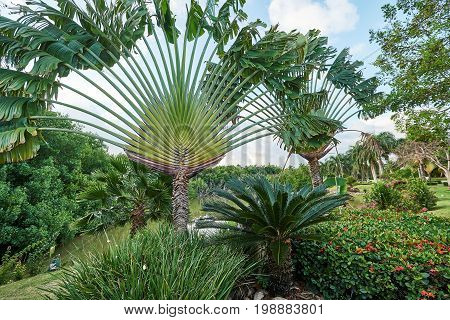 Tropical landscape with Traveller's tree (Ravenala madagascariensis) sago palm (Cycas revoluta) ixora bushes and a pond in the background. Traveller's palms grow on an east-west line.
