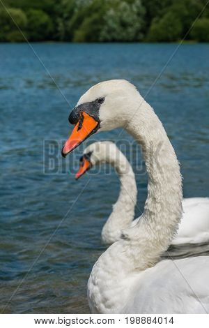 Beautiful two white swans in the mating season