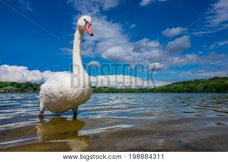 White swan standing proudly on a lakeshore