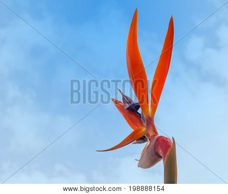 Strelitzia reginae Bird of paradise crane flower back view against blue sky