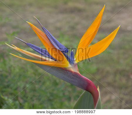 Colourful closeup Bird of Paradise Crane flower Strelitzia reginae growing in garden