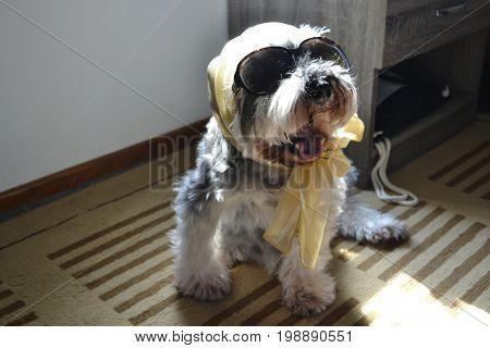 Stylish and fashionable miniature schnauzer dog all dressed up to go out on sunny day