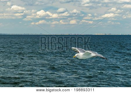 White gull flying Lower New York Bay Atlantic Ocean