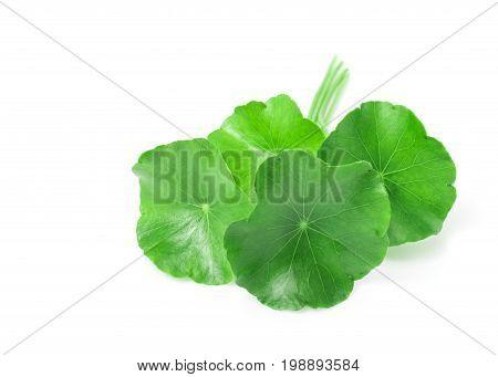 Closeup leaf of Gotu kola Asiatic pennywort Indian pennywort on white background herb and medical concept