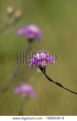 Brownray knapweed (Centaurea jacea) in the fields of healing common weed.