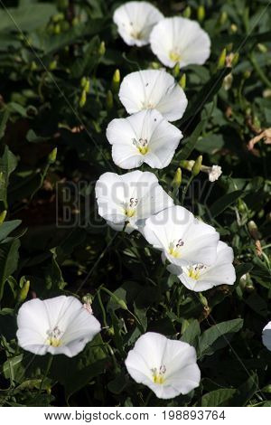 Bindweed (Convolvulus arvensis) pink flower in the garden.