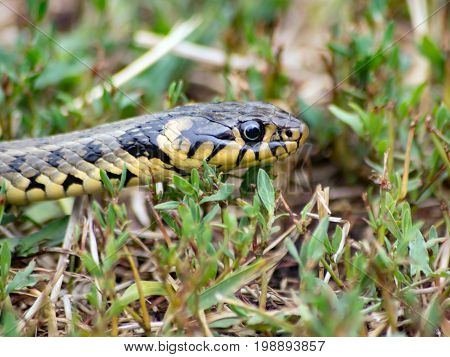 The glider (Natrix natrix) is hunted in the grass.