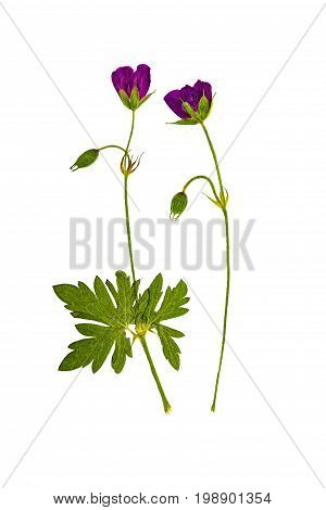 Pressed and dried flowers geranium sylvaticum isolated on white background. For use in scrapbooking floristry (oshibana) or herbarium.