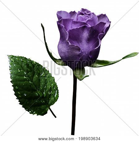 Violet rose on white isolated background with clipping path. No shadows. Closeup. A flower on a stalk with green leaves after a rain with drops of water. For flowers design. Side view. Nature.