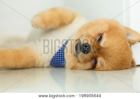 Pomeranian Puppy Dog Sleeping In Home