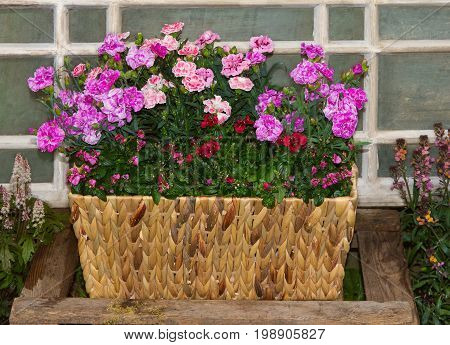 Basket With Pink Carnations Or Sweet Williams And Twinspur Flowers.