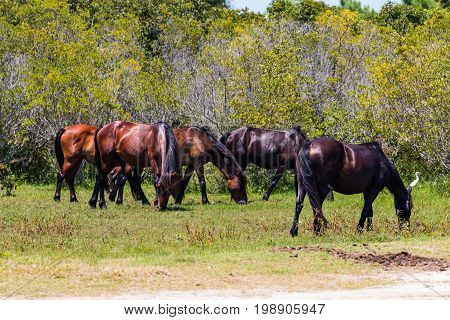 A herd of wild Spanish Mustangs, which have roamed free in Corolla, North Carolina on the Outer Banks for what is believed to be about 500 years.