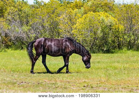 A lone wild Spanish Mustang walks through a meadow in Corolla, North Carolina, on the Outer Banks.