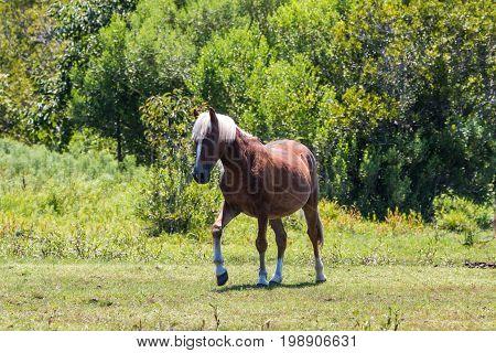 A single wild Spanish Mustang walking in a pasture in Corolla, North Carolina.