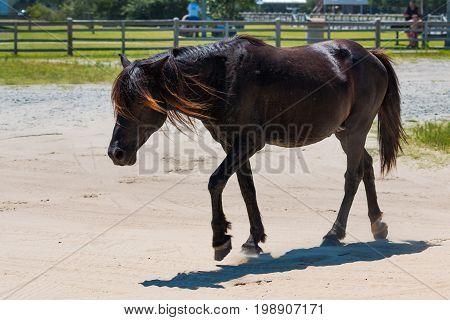A wild Spanish Mustang roams free near a public park in Corolla, North Carolina.