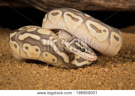 A super lesser pastel  morph of a Royal python curled up with its head showing