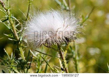 Detail of  white Cirsium vulgare thistle seeds