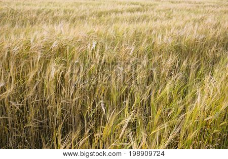 An Agricultural Background With Singing Spikelets Of Rye In The Rays Of The Evening Sun At Sunset Be