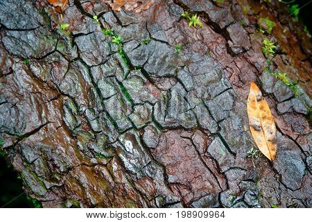 Old Wood Tree bark texture with one leaf