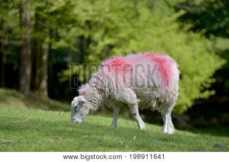 Sheep by Loughrigg Tarn, English Lake District