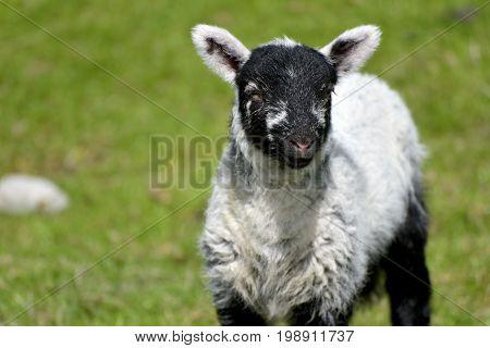 White lamb by Loughrigg Tarn, English Lake District