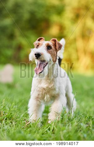 Vertical portrait of a happy healthy dog in the park wire fox terrier puppy playing outdoors.