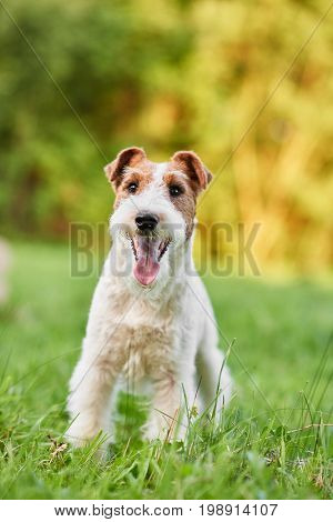 Vertical shot of a beautiful happy and healthy fox terrier puppy sitting in the grass while playing outdoors.