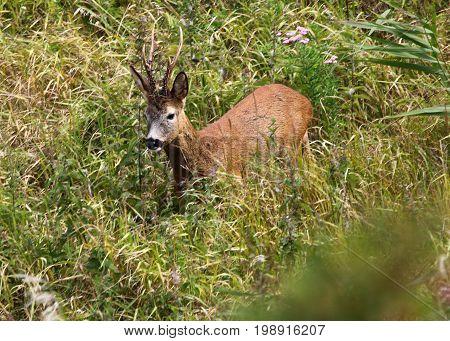 A roedeer buck in a meadow field