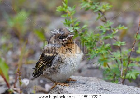 The chick of the finch (Fringilla coelebs) closeup